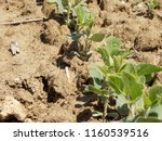 soybean on the field  | Shutterstock . vector #1160539516