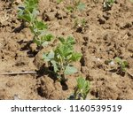 soybean on the field  | Shutterstock . vector #1160539519