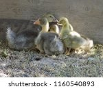 small cute geese | Shutterstock . vector #1160540893