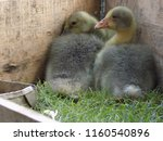 small cute geese | Shutterstock . vector #1160540896