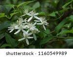 sweet autumn clematis  clematis ... | Shutterstock . vector #1160549989
