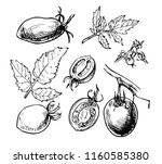 hand drawn tomato fruit  its... | Shutterstock .eps vector #1160585380