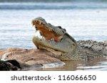 Nile Crocodile Having Opened...