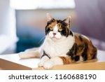 Closeup Of One Calico Cat...