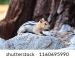 Gold Mantled Ground Squirrel...