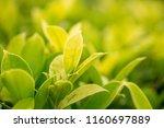 green leaves in garden soft... | Shutterstock . vector #1160697889