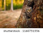 little owl  athene noctua  in... | Shutterstock . vector #1160751556