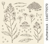 collection of mustard  plant ... | Shutterstock .eps vector #1160770570