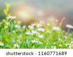 Closeup Daisy Flowers On A...
