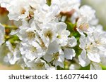 cherry blossom flowers in jerte ... | Shutterstock . vector #1160774410