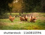 free range chicken in at the... | Shutterstock . vector #1160810596
