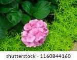 beautiful blue hydrangea or... | Shutterstock . vector #1160844160
