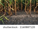 Cornfield And Dry Mudcracked...