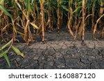 cornfield and dry mudcracked...