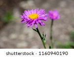 aster alpinus purple violet... | Shutterstock . vector #1160940190
