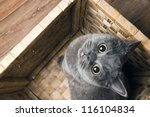 Stock photo the grey cat british breed with large yellow eyes looks at the camera from the bottom up 116104834