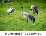 Red Crowned Crane  Grus Grus ...