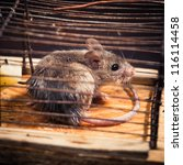 Small photo of mice caught in the cage mousetrap (set free afterwards)