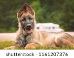 Stock photo german shepherd puppy laying down 1161207376