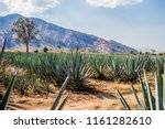 View of an blue agave plantation in Tequila Jalisco Mexico in a wonderful and sunny day