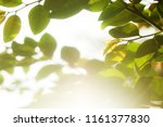 closeup green leaves and the... | Shutterstock . vector #1161377830