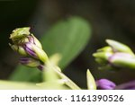 nezara viridula vegetable pest... | Shutterstock . vector #1161390526