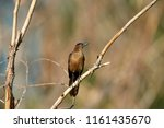a female great tailed grackle ... | Shutterstock . vector #1161435670