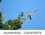 house finch  carpodacus... | Shutterstock . vector #1161435676