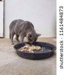 cat is eating food   Shutterstock . vector #1161484873