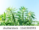 sesame crops growing in green... | Shutterstock . vector #1161503593