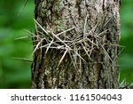 Small photo of Tree growing its own defense mechanism. Spikes growing from this tree trunk create an interestingly dangerous pattern