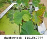 lotus seeds in the pond   Shutterstock . vector #1161567799