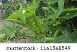 vegetables grown in the garden. | Shutterstock . vector #1161568549