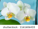 white orchid on a blue... | Shutterstock . vector #1161606433