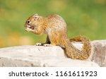 tree squirrel   paraxerus...   Shutterstock . vector #1161611923