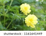 yellow cosmos or cosmos... | Shutterstock . vector #1161641449