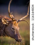 Close Up Of Young Male Elk Wit...