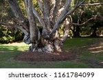 Sydney Australia  Tree Trunk Of ...