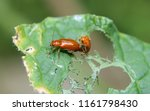 one red coloured beetle spies... | Shutterstock . vector #1161798430
