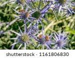 Bees Pollinating Eryingium...