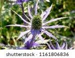 Close Up Of Eryingium Alpinum...