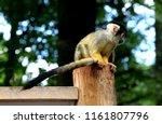 Squirrel Monkey On A Trunk....