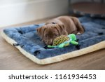Stock photo adorable puppy laying down on his bed with a toy 1161934453