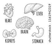 human anatomy organs. brain ... | Shutterstock .eps vector #1161942319