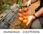 tomatoes in the garden are cut... | Shutterstock . vector #1161953656