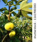 fig tree and uncultivated figs...   Shutterstock . vector #1161980383