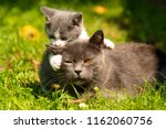 Stock photo kitten mother cat kisses cat hugs kitten and presses his face to the kitten cat tightly holding 1162060756