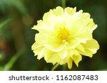 yellow cosmos or cosmos... | Shutterstock . vector #1162087483