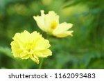 yellow cosmos or cosmos... | Shutterstock . vector #1162093483