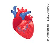 heart anatomy isolated on white ... | Shutterstock . vector #1162095910